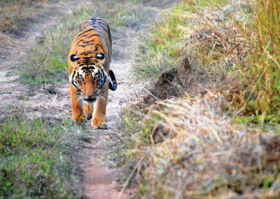 tiger-safari